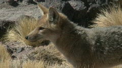 A desert fox in the altiplano above San Pedro de Atacama, Chile. Stock Footage