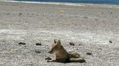 A desert fox in the altiplano near Laguna Miniques in the Stock Footage
