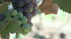 Vertical pan of wine grapes ripening in a Monterey County - stock footage