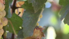 Pan across wine grapes in a Salinas Valley vineyard, Stock Footage