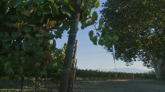A Salinas Valley vineyard, Monterey County, California. - stock footage