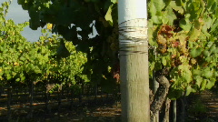 Dolly move across a row of grape vines in a Santa Barbara Stock Footage