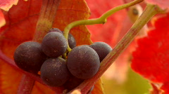Red wine grapes and fall colors. Stock Footage