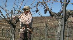 A field worker prunes dormant vines in a California vineyard. - stock footage