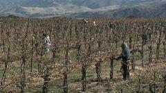 Field workers prune dormant vines in a California vineyard. - stock footage