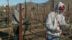 Field workers break for lunch while pruning dormant vines Stock Footage