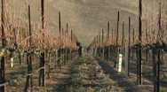 Stock Video Footage of A move in on a field worker pruning dormant grape vines in