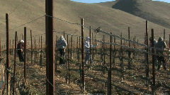 Pan across field workers pruning dormant grape vines in a Stock Footage