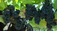 Stock Video Footage of Handpicking wine grapes during harvest.