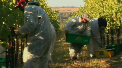 Harvesting grapes at a Santa Barbara County vineyard, California. Stock Footage