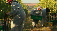 Stock Video Footage of Harvesting grapes at a Santa Barbara County vineyard, California.