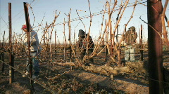 A pruning crew trims dormant vines in a California vineyard. Stock Footage