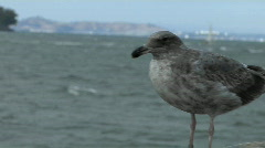 A seagull stands on a wall across from Alcatraz Island. Stock Footage