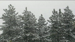 Snow falls amidst a stand of pine trees. Stock Footage
