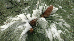 Snow sits on the pine needles of a tree branch. Stock Footage