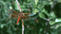 A dragonfly on a branch. Stock Footage