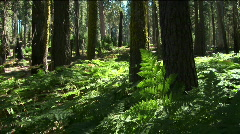 Ferns grow near trees in the forest. Stock Footage
