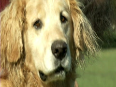 Golden Retriever Stock Footage