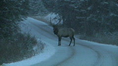 Wild Elk in Snow Storm Walks across Road into Thick Woods Stock Footage