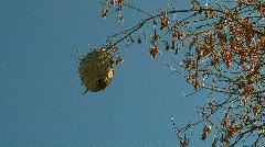 Hornets Nest 01 Stock Footage