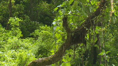 With inside the rainforest to a canopy of trees on  a ridge Stock Footage