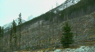 Stock Video Footage of Desolate Pine Forest Fire Devastation Aftermath Snowy Panorama