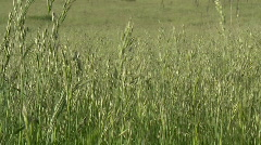 Tall grass in the wind - stock footage