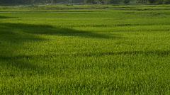 Lush green rice plants Stock Footage