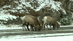Rocky Mountain Sheep Licking Salt on the Road in Snowy Weather Stock Footage