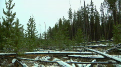 Young growth Pine forest under light Snow (pan view) Stock Footage