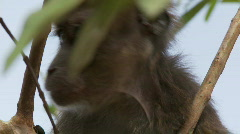Philippine Long-tailed Macaque (Macaca fascicularis philippinensis) in a tree Stock Footage
