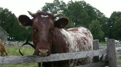Cow standing next to fence Stock Footage