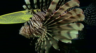 Scorpionfish or Lionfish swims in an aquarium Stock Footage
