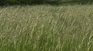 Tall grass in the wind Stock Footage