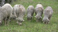 Row of Sheep eating grass Stock Footage