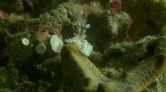 A pair of Harlequin shrimp attacking a starfish trying to turn it over Stock Footage
