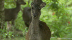 Philippine Deer in the Jungle Stock Footage