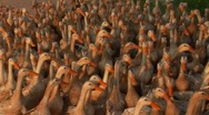 Hundreds of ducks are herded by a Vietnamese farmer. Stock Footage