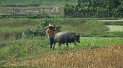 A farmer leads his water buffalo across the rice paddies. Stock Footage