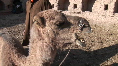 A man and a camel in Iran. Stock Footage