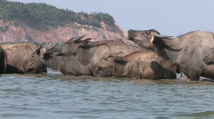 Water buffaloes cross a river. Stock Footage