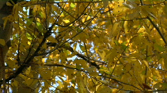 The wind rustles the fall leaves. Stock Footage