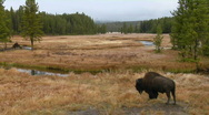 A bison grazes in a clearing at Yellowstone National Park. Stock Footage