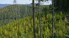 Trees grow in an evergreen forest in the Rocky Mountains. Stock Footage