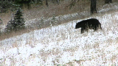 A black bear walks down a snowy hillside. Stock Footage