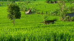 A terraced rice farm grows green fields. - stock footage