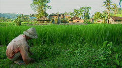 A worker gathers rice on a lush, terraced rice farm. Stock Footage