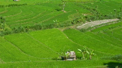 A breeze ripples rice plants in a large field. Stock Footage