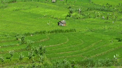 Wind blows across a lush green field of a terraced rice farm. Stock Footage