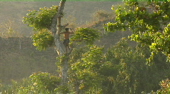 A man with a machete climbs a tree to cut branches. Stock Footage